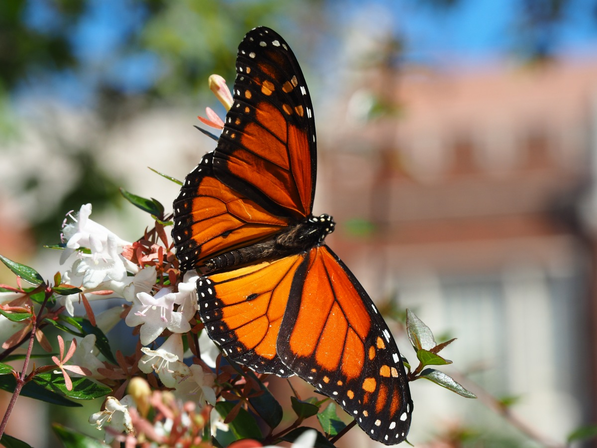 10 Facts About Monarch Butterflies